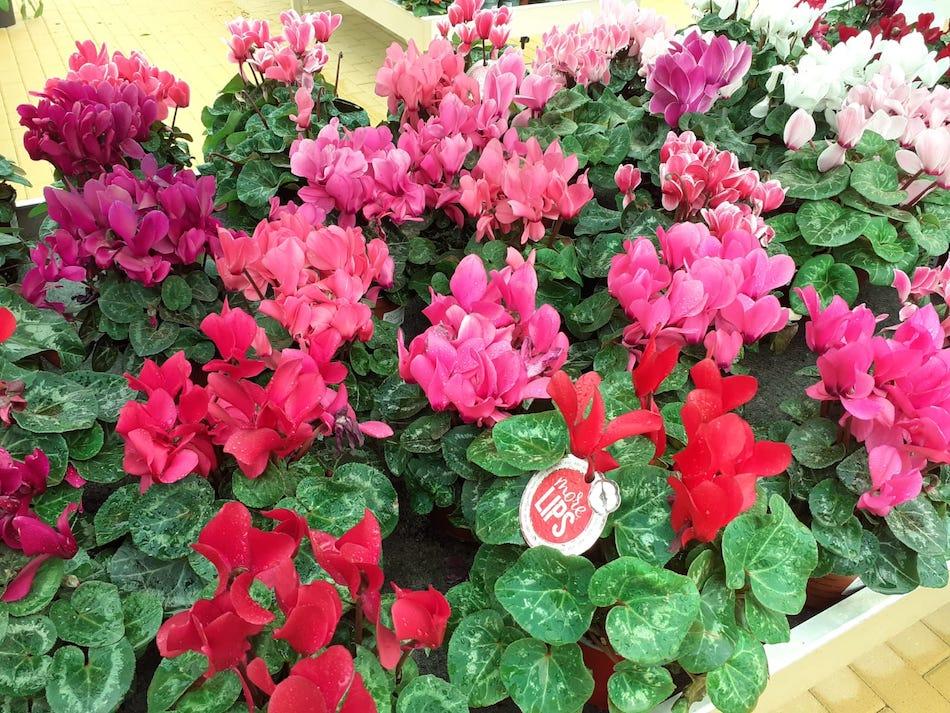 CYCLAMEN Plantas de flores para balcón o terraza en ALA30 centro de jardinería