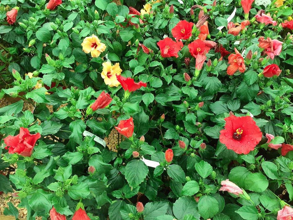Hibiscus en ALA30, centro de Jardinería en San Javier, Murcia