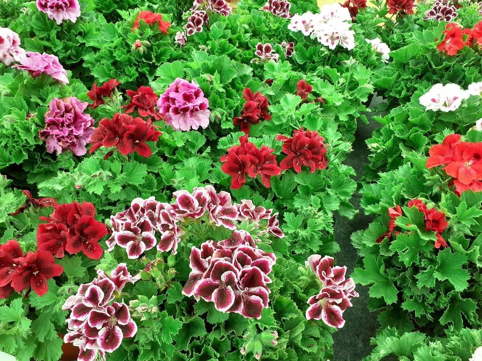 geranio o pelargonium en ALA30 centro de jardinería vivero en Murcia