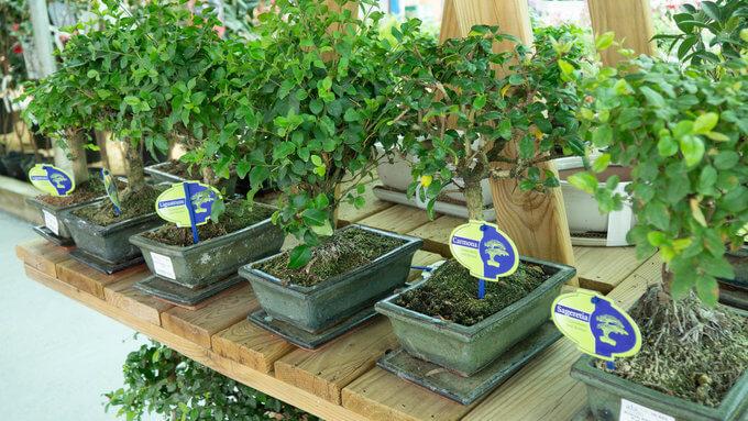 concurso bonsai ala 30 san javier