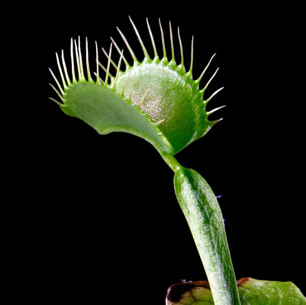 Planta Carnívora Dionaea