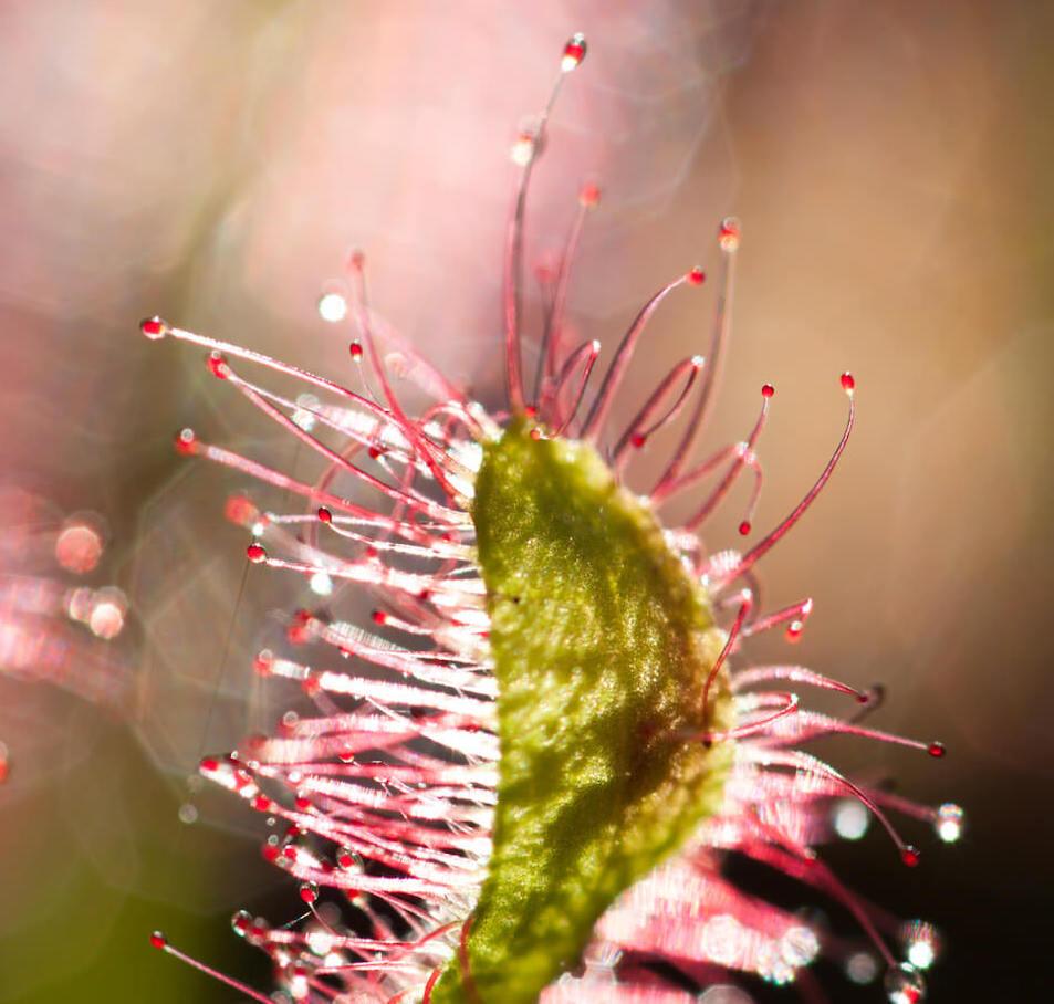 Planta Carnívora Droseras