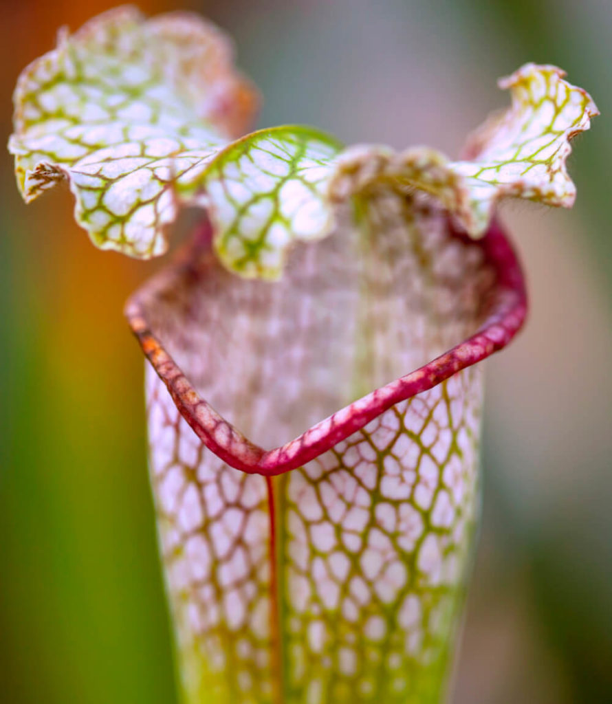 Planta Carnívora Sarracenia