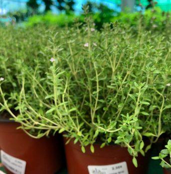 planta olor ala 30 centro de jardinería garden
