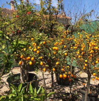cítricos ala 30 garden centrode jardinería