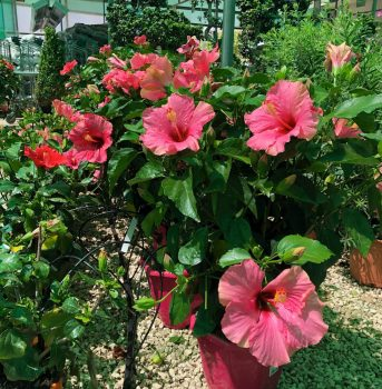 flores rosas garden ala 30 centro de jardineria