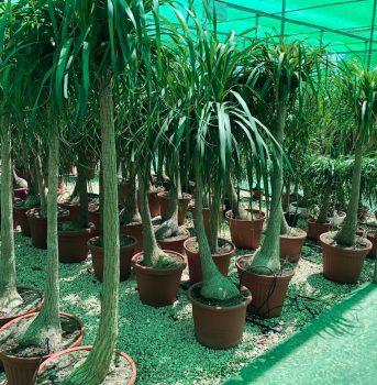 palmeras ala 30 garden centro de jardinería