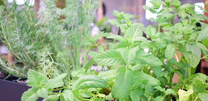 planta aromática centro de jardinería ala 30 garden