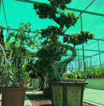 bonsai ala 30 garden centro de jardinería