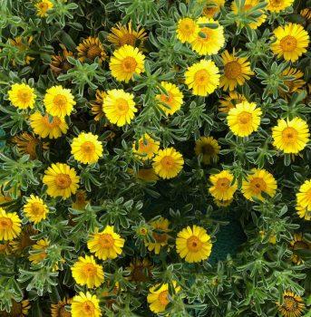 flores amarillas ala 30 centro de jardineria garden